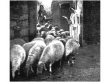 Flocks pass `under the hands of him who counts them` (Jeremiah xxxiii, 13). This is the way of counting sheep. An early photograph.